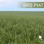 sementes-lopes-braquiaria-brizantha-brs-piata